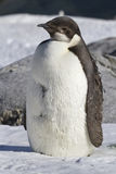 Emperor penguin chick who stands in the snow Antarctic Royalty Free Stock Photo