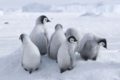 Emperor penguin chicks. On the sea ice in the Weddell Sea, Antarctica Royalty Free Stock Image