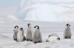 Emperor penguin chicks. On the sea ice in the Weddell Sea, Antarctica Stock Photo