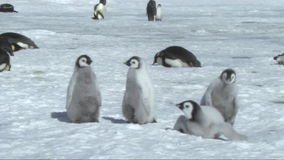 Emperor penguin chicks stock video