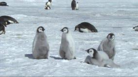 Emperor penguin chicks stock video