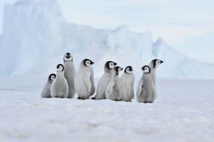 Emperor Penguin chicks in Antarctica. To the heart of nature travel to Antarctica Stock Photography