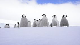 Emperor Penguin chicks on the ice stock footage