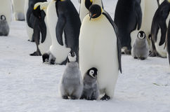 Emperor Penguin chicks and parent. Emperor Penguin chick (Aptenodytes forsteri) with parent Stock Images