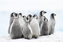 Emperor Penguin chicks on the ice. Emperor Penguin chicks at Snow Hill Antarctica 2018 royalty free stock photos