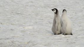 Emperor Penguin chicks on the ice stock video