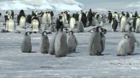 Emperor penguin chicks stock footage