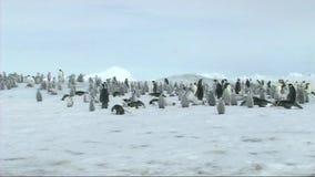 Emperor penguin colony stock video