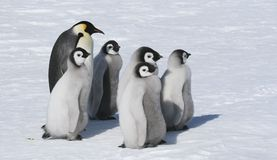 Emperor penguin family. Standing on the snow Royalty Free Stock Photo