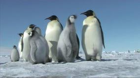 Emperor penguin family stock footage