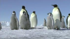Emperor penguin family stock video