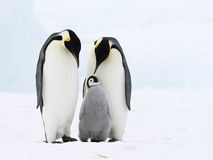 Emperor penguin family Stock Images