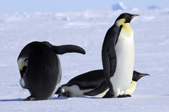 Emperor penguin group Royalty Free Stock Photos