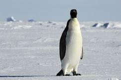 Emperor penguin in icescape. An emperor penguin standing in front of a beautiful Antarctic ice scenery. Picture was taken in the Atka Bay during a 3-month Stock Photos