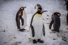 Emperor penguin king of penguins species. In Antarctica were find food and ready to move abode Royalty Free Stock Image