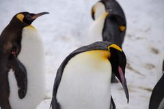 Emperor penguin king of penguins species. In Antarctica were find food and ready to move abode Stock Photo