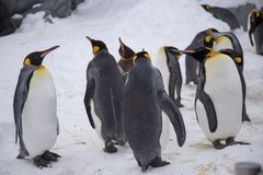 Emperor penguin king of penguins species. In Antarctica were find food and ready to move abode royalty free stock photos