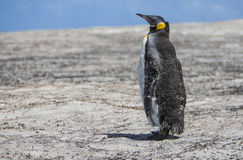 Emperor penguin in molting Royalty Free Stock Photo