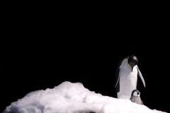 Emperor penguin royalty free stock photos