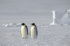 Emperor penguin pair Stock Images