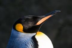 Free Emperor Penguin Portrait Royalty Free Stock Image - 108659756