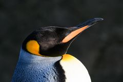 Emperor Penguin Portrait. With eyes closed basking in the sun Royalty Free Stock Image