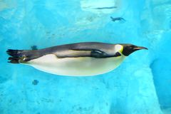 Emperor Penguin. A emperor penguin was swimming underwater in Zhuhai Changlong ocean Kingdom, Guangdong, China stock photography