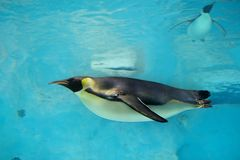 Emperor Penguin. A emperor penguin was swimming underwater in Zhuhai Changlong ocean Kingdom, Guangdong, China royalty free stock photo