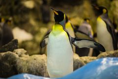 Emperor penguin wishes to fly in the zoo in Tenerife, Spain Royalty Free Stock Photos