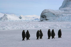 Emperor penguins. (antarctic royalty free stock images