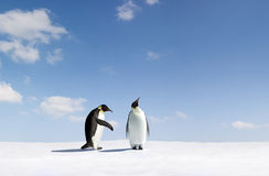 Emperor penguins. Two Emperor penguins on ice or snow, one appearing to ignore the other. Species:  Aptenodytes forsteri Stock Image