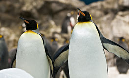 Emperor penguins. Couple of emperor penguins together stock photos