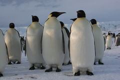 Emperor penguins. Nov 2005 - Emperor penguins Cape Washington/Ross sea, Antarctic Stock Photo