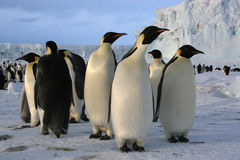 Emperor penguins. At Cape Washington - Ross Sea/Antarctic Stock Photo