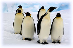 Emperor penguins. Antarctic, Weddell sea Stock Image