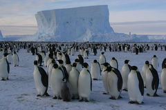 Emperor penguins. Group of emperor penguins in front of an iceberg Royalty Free Stock Photo