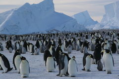 Emperor Penguins. Group of emperor penguins in front of icebergs Stock Image