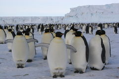 Emperor Penguins. Group of Emperor penguins royalty free stock image