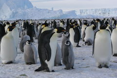Emperor penguins. Group of emperor penguins / Antarctica (Ross sea Stock Photography