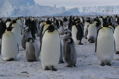Emperor penguins stock images