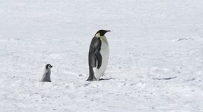 Emperor penguins. On the sea ice in the Weddell Sea, Antarctica Stock Photography