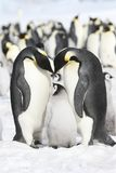 Emperor penguins. On the sea ice in the Weddell Sea, Antarctica Royalty Free Stock Photos