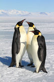 Emperor penguins in Antarctica. Penguins on the sea ice near McMurdo Sound royalty free stock photo