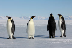 Emperor penguins in Antarctica. Penguins on the sea ice near McMurdo Sound stock images