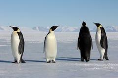 Emperor penguins in Antarctica Stock Images