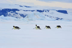 Emperor Penguins in Antarctica Royalty Free Stock Image