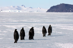 Emperor penguins in Antarctica. Penguins walking on the sea ice near McMurdo royalty free stock images