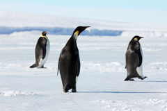 Emperor penguins in Antarctica. Penguins walking on the sea ice near McMurdo royalty free stock photography