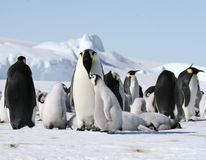 Emperor penguins (Aptenodytes forsteri). On the ice in the Weddell Sea, Antarctica stock image