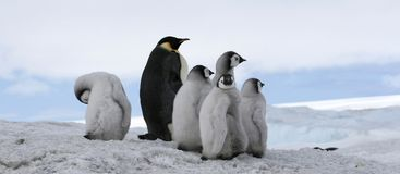 Emperor penguins (Aptenodytes forsteri) Royalty Free Stock Photography